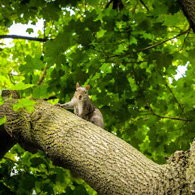 Little Friend by Maria Sicilian - Animals Other Mammals ( face off, no humans, tree, on top, green, leafy, forest, leaf, chicago, cute, squirrel,  )