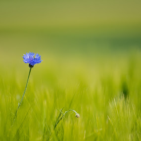fields with blue by Ira Mdt - Flowers Flowers in the Wild ( #blue flower #wheat field #summer time #green background )