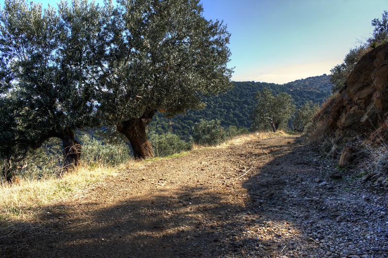 Photo: Olive trees on a mountain-side path.  Trizina, Greece