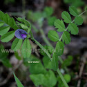 Vicia sativa subsp. incisa (M. Bieb.) Arcang.