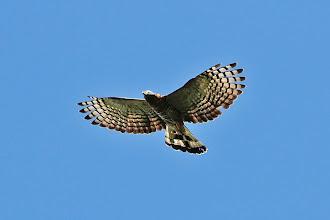 Photo: Hook-billed Kite