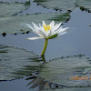 Shapla (White lily)