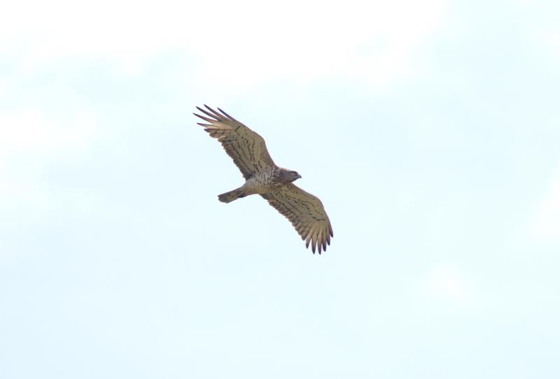 short-toed eagle_rsz.jpg