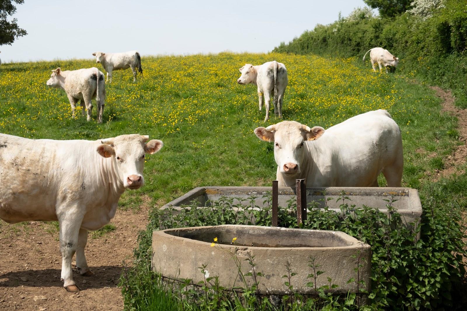 Normannische Kühe