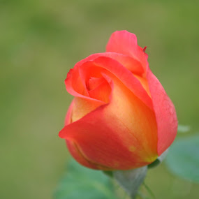 Rose by Pramesh Pokharel - Novices Only Flowers & Plants ( rose, beautiful, best, blossoming, bud )