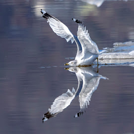 Ring-billed gull reflections by Debbie Quick - Animals Birds ( debbie quick, nature lovers, winter, ice, natures best shots, debs creative images, animal photography, bird photography, bird, gull, nature photography, wildlife, ring-billed gull, reflection, nature, hudson river, nature up close, new york, water, national geographic, peekskill, wildlife photography, animal, wild, hudson valley,  )