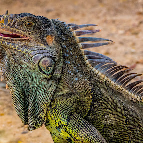 Iguana by Richard Beckmann - Animals Reptiles
