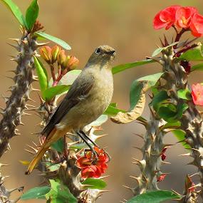 Black Redstart, Female by Asim Mandal - Animals Birds