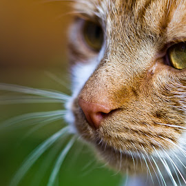 Ginger by Chris Whittle - Animals - Cats Portraits ( orange, cat, ginger, green, white, wildlife, portrait, eyes, macro, nature, pet, depth of field, whiskers, fur, focus, feline, animal )