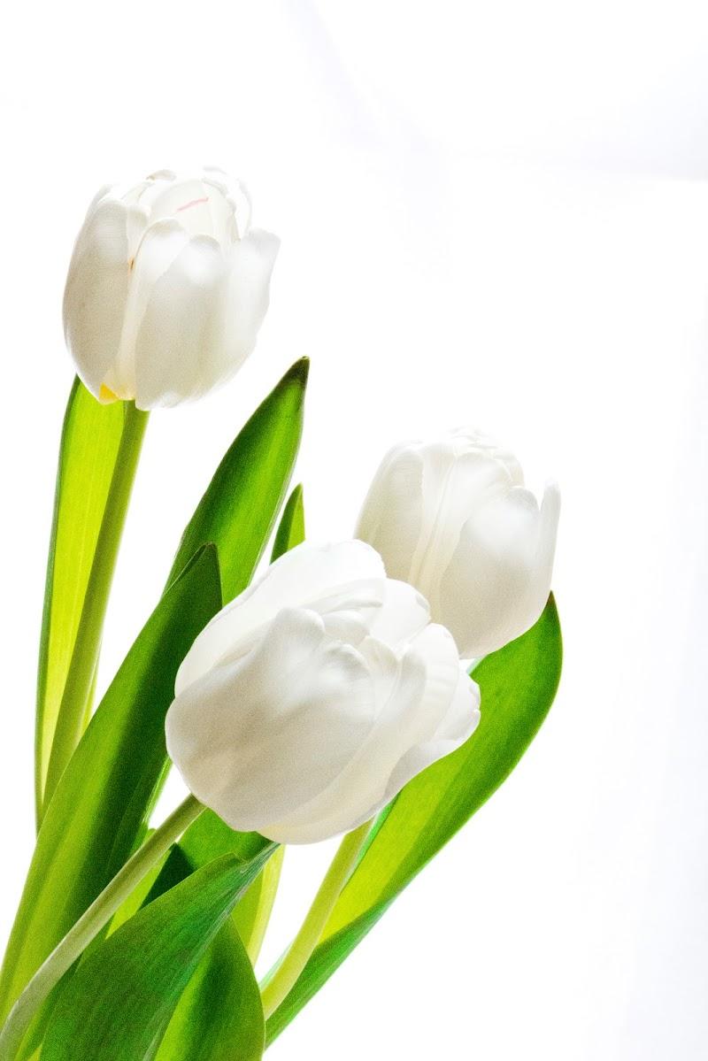 tulipes di Elisabetta Castellano