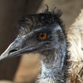 Ostrich close up  by Kedar Banerjee - Novices Only Wildlife ( potrait, ostrich, nature, bird, wild )