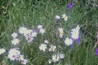 Photo: A patch of daisies, amongst other things. No sign of wasps or bees, which is disturbing - only black fly and hover flies.