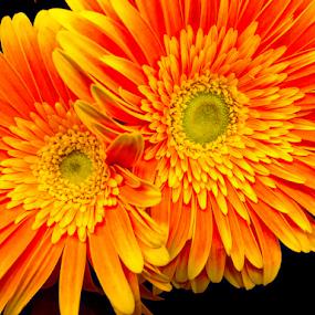 Twins by Lawrence Ferreira - Flowers Flower Arangements ( summer flowers, yellow flowers, twin flowers, flower design, floral design, two flowers, orange flowers, flower arrangement, flowers, floral, flowers photo,  )