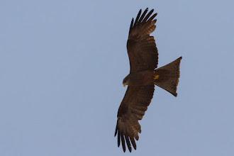 Photo: Yellow-billed kite; Milhafre-de-bico-amarelo.