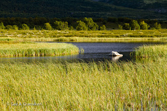 Photo: Fokstumyra nature reserve, Dovre mountains