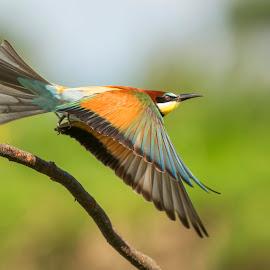 beeneater by Marjan Gresl - Animals Birds ( fly, birds )