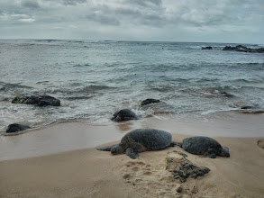 Photo: Found some turtles at Laniakea beach, on Ohau's north shore