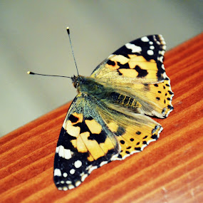 Resting time by Daniela Elena - Animals Insects & Spiders ( butterfly, orange, macro )