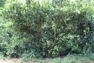 Photo: This tea tree is about eighty years old.