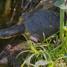 by Jim Jones - Animals Reptiles ( turtle, reptiles, animal, animals, reptile )