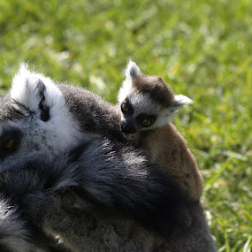 Family time by Steen Hovmand Lassen - Animals Other Mammals ( mother, family, togetherness, lemur, baby )