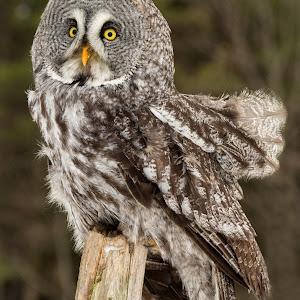 9 burian Windblown Owl 213 cccccc.jpg