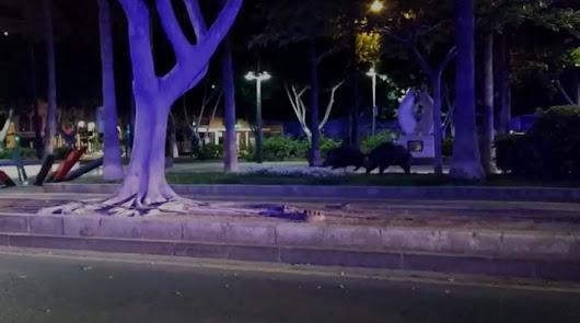 Una pareja de jabalís recorre la Rambla de Almería durante el estado de alarma