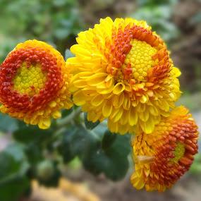 Yellow buds by Arkendu Pal - Flowers Flower Buds
