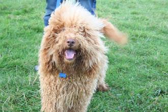 Photo: No it's Monty Labradoodle! Such a pretty boy!