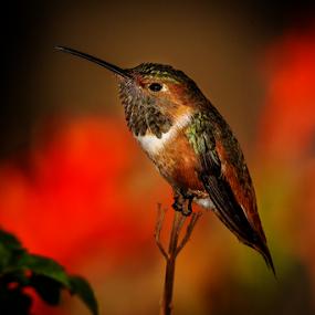 Humming Bird 3227 by Ken Wade - Animals Birds ( allen's hummingbird, selasphorus sasin,  )