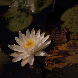 Pond water lily by Bill Martin - Flowers Flowers in the Wild ( pond, color, nature, lily pads, petals, water, water lily, flower,  )