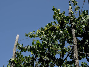 Photo: viti in cima ad un pergolato di copertura di limoni