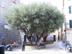 Photo: A mature olive tree graces a small town square.