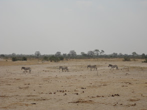 Photo: More zebras trek on over to the waterhole.