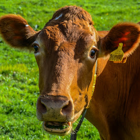 The Happy Cow by Cornish Nige  - Animals Other ( grass, milk, cowbells, cow, farmland,  )