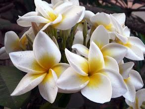 Photo: fleurs de frangipanier