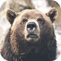 Bear Wallpapers icon