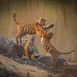 Tiger cubs in playful mood by San Jay - Animals Lions, Tigers & Big Cats ( tiger_cubs, tiger, tigercubs, india, indiatiger, tigers,  )