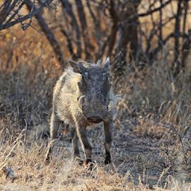 African wild warthog by Neil H - Animals Other Mammals ( hog, africa, tusks, safari, bush veld, bush, wild pig, hairy, african wildlife, bushveld, animal, warthog, wild, small animal,  )
