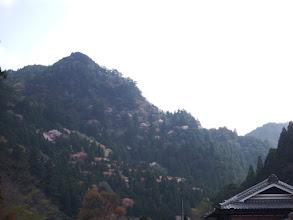 山腹を山桜が彩る