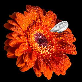 Petal by Roger Fanner - Nature Up Close Flowers - 2011-2013 ( flash, orange, b&w, roger fanner, flower )