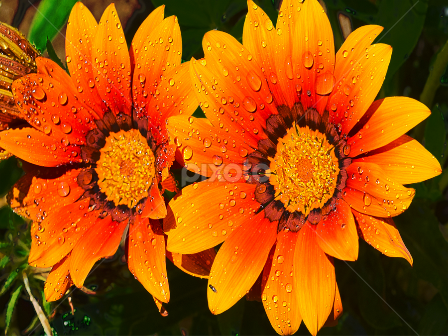 twoo gazanias by LADOCKi Elvira - Flowers Flower Gardens ( nature, flowers, garden,  )