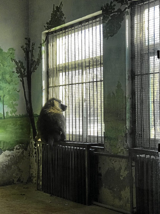 A lonely chacma baboon stares out the window of his 'hok' at Tianjin Zoo.