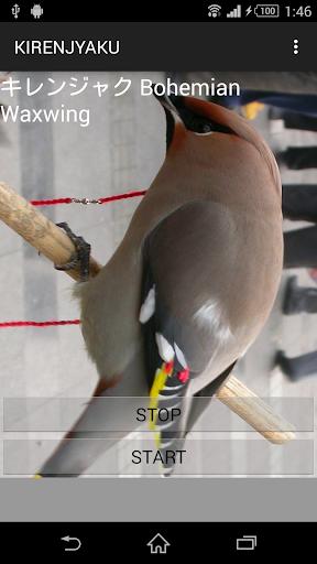 鳥鳴き声キレンジャク