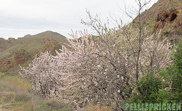 Photo: När vi kommer upp i bergen hittar vi äntligen Mandelblomm