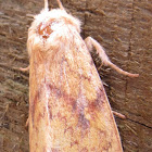 White-tailed Diver Moth
