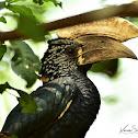 Hornbill  -  Silvery-cheeked Hornbill