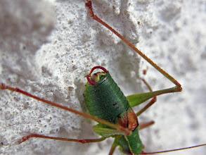 Photo: Laubholz-Säbelschrecke (Barbitistes serricauda), Männchen Gut zu erkennen sind die Cerci und die trichterförmig eingeschnittene Subgenitalplatte.