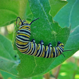 Monarch Caterpillar by Anne LiConti - Instagram & Mobile Android ( #garden, #mobilephotography, #phonephoto, #mobilephoto, #mobile, #animal, #instagram, #butterflygarden, #caterpillar, #phonephotography )