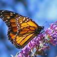 Butterfly Directory icon